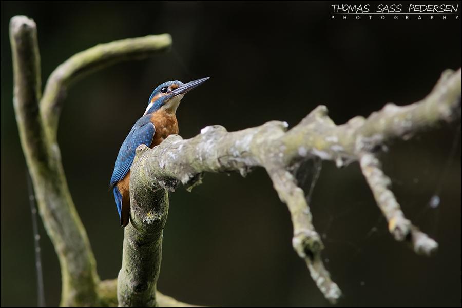 Isfugl, Kingfisher, Alcedo atthis
